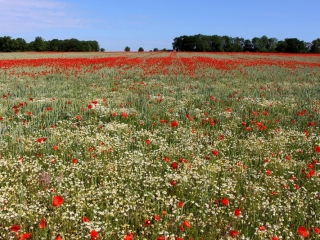Poppy Fields toward the Coast