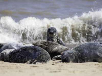 Norfolk Seals on Horsey Beach