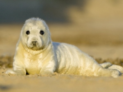 Norfolk Seals - Baby