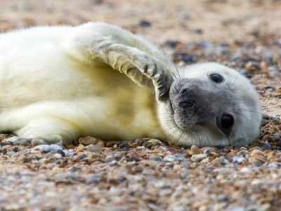 Norfolk Seals - Pup